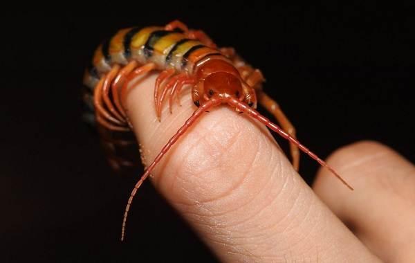 Сколопендра-многоножка-Описание-особенности-виды-образ-жизни-и-среда-обитания-сколопендры-17