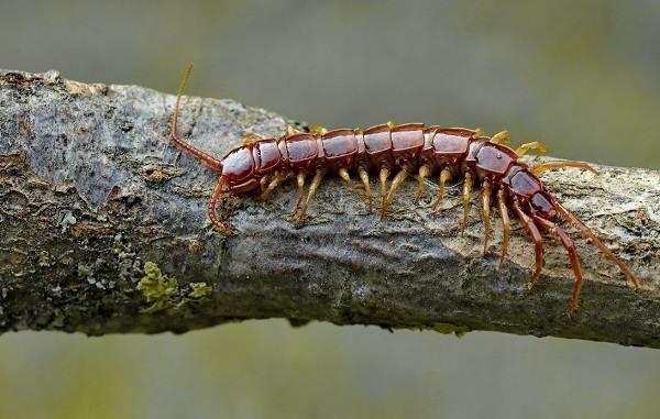 Сколопендра-многоножка-Описание-особенности-виды-образ-жизни-и-среда-обитания-сколопендры-3