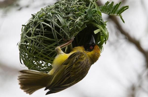 Ткачик-птица-Описание-особенности-виды-образ-жизни-и-среда-обитания-ткачика-1