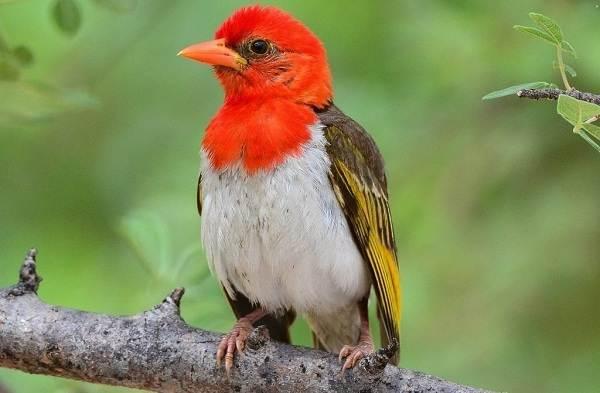 Ткачик-птица-Описание-особенности-виды-образ-жизни-и-среда-обитания-ткачика-10