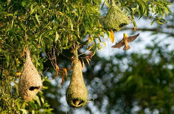 Ткачик-птица-Описание-особенности-виды-образ-жизни-и-среда-обитания-ткачика-11