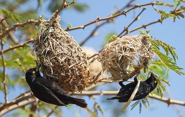 Ткачик-птица-Описание-особенности-виды-образ-жизни-и-среда-обитания-ткачика-13
