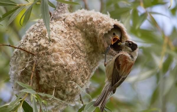 Ткачик-птица-Описание-особенности-виды-образ-жизни-и-среда-обитания-ткачика-14