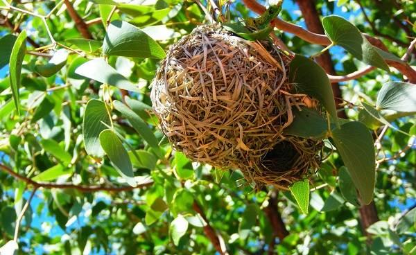 Ткачик-птица-Описание-особенности-виды-образ-жизни-и-среда-обитания-ткачика-15