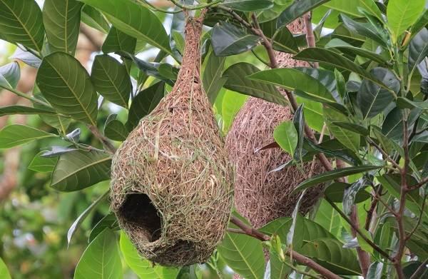 Ткачик-птица-Описание-особенности-виды-образ-жизни-и-среда-обитания-ткачика-16