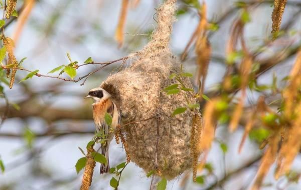 Ткачик-птица-Описание-особенности-виды-образ-жизни-и-среда-обитания-ткачика-18