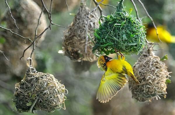 Ткачик-птица-Описание-особенности-виды-образ-жизни-и-среда-обитания-ткачика-2