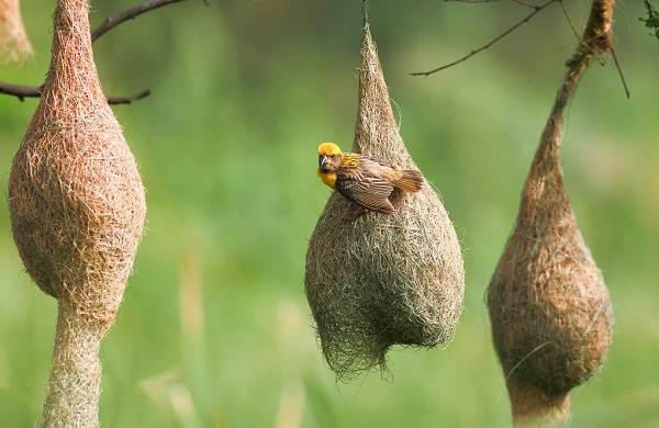 Ткачик-птица-Описание-особенности-виды-образ-жизни-и-среда-обитания-ткачика-3