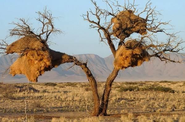 Ткачик-птица-Описание-особенности-виды-образ-жизни-и-среда-обитания-ткачика-4