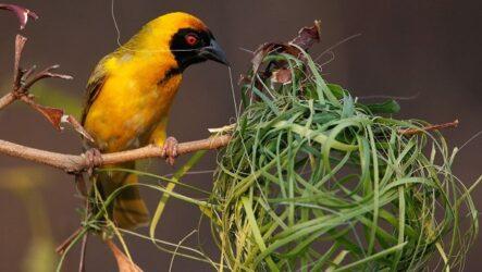 Ткачик птица. Описание, особенности, виды, образ жизни и среда обитания ткачика