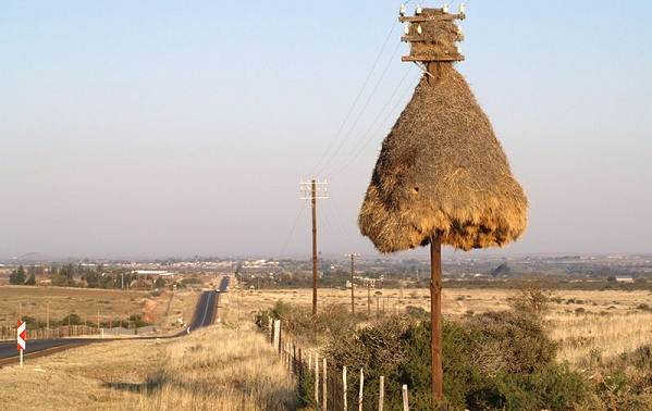 Ткачик-птица-Описание-особенности-виды-образ-жизни-и-среда-обитания-ткачика-5