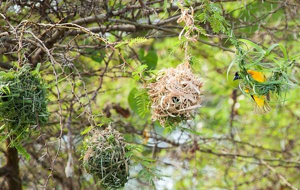 Ткачик-птица-Описание-особенности-виды-образ-жизни-и-среда-обитания-ткачика-6