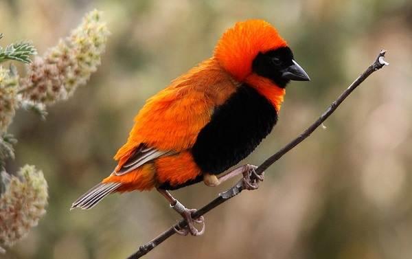 Ткачик-птица-Описание-особенности-виды-образ-жизни-и-среда-обитания-ткачика-8