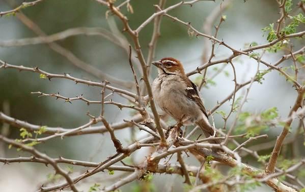 Ткачик-птица-Описание-особенности-виды-образ-жизни-и-среда-обитания-ткачика-9