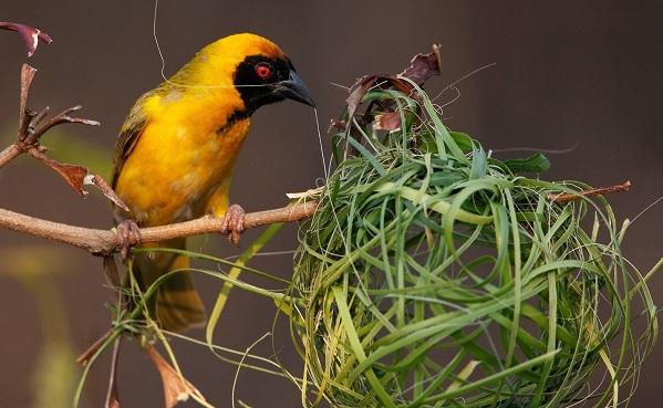 Ткачик-птица-Описание-особенности-виды-образ-жизни-и-среда-обитания-ткачика