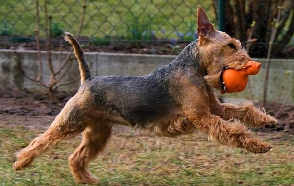 Вельштерьер-собака-Описание-особенности-виды-уход-и-цена-породы-вельштерьер-10