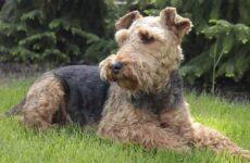 Вельштерьер собака. Описание, особенности, виды, уход и цена породы вельштерьер