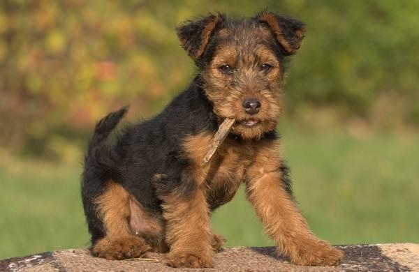 Вельштерьер-собака-Описание-особенности-виды-уход-и-цена-породы-вельштерьер-12