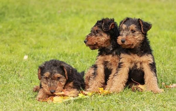 Вельштерьер-собака-Описание-особенности-виды-уход-и-цена-породы-вельштерьер-15