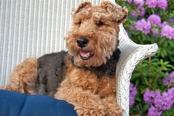 Вельштерьер-собака-Описание-особенности-виды-уход-и-цена-породы-вельштерьер-16