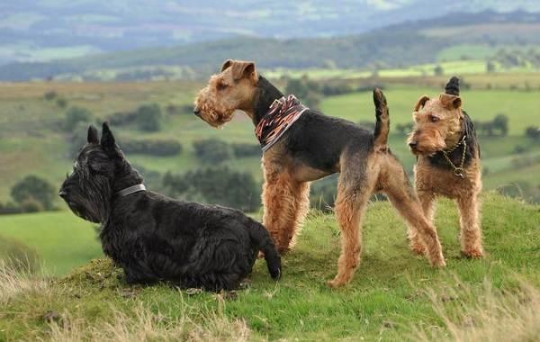 Вельштерьер-собака-Описание-особенности-виды-уход-и-цена-породы-вельштерьер-18
