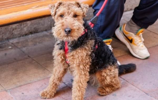 Вельштерьер-собака-Описание-особенности-виды-уход-и-цена-породы-вельштерьер-2