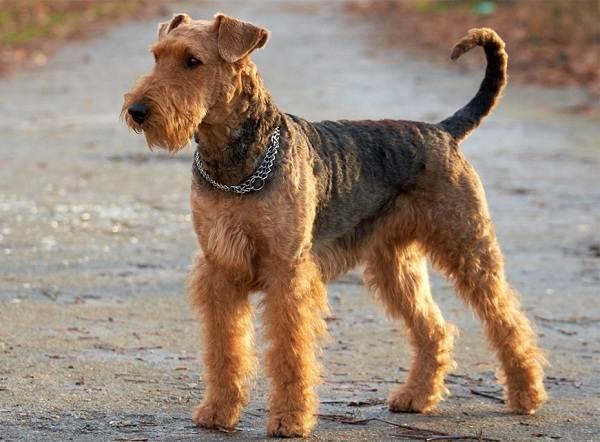 Вельштерьер-собака-Описание-особенности-виды-уход-и-цена-породы-вельштерьер-3