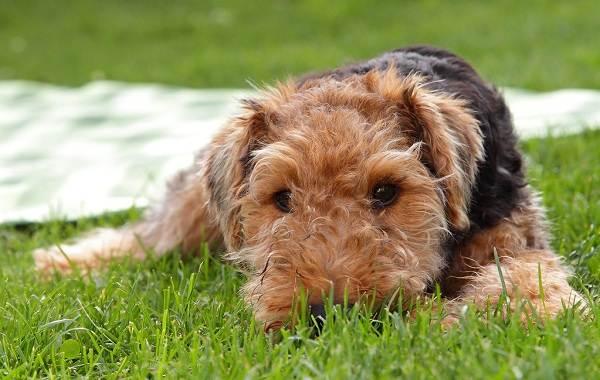 Вельштерьер-собака-Описание-особенности-виды-уход-и-цена-породы-вельштерьер-5