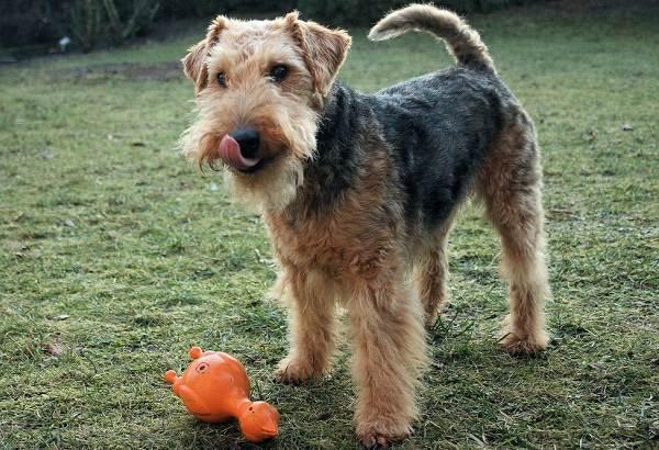 Вельштерьер-собака-Описание-особенности-виды-уход-и-цена-породы-вельштерьер-6