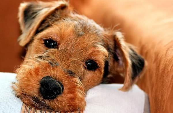 Вельштерьер-собака-Описание-особенности-виды-уход-и-цена-породы-вельштерьер-9
