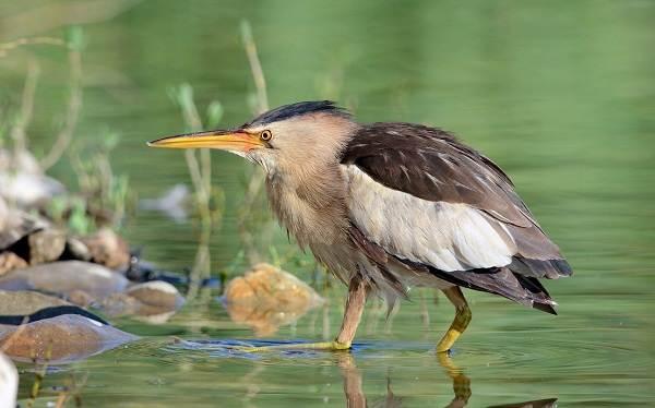 Выпь-птица-Описание-особенности-виды-образ-жизни-и-среда-обитания-выпи-1