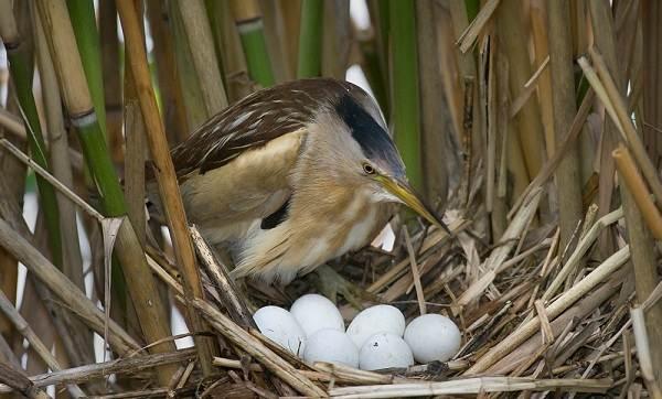 Выпь-птица-Описание-особенности-виды-образ-жизни-и-среда-обитания-выпи-11