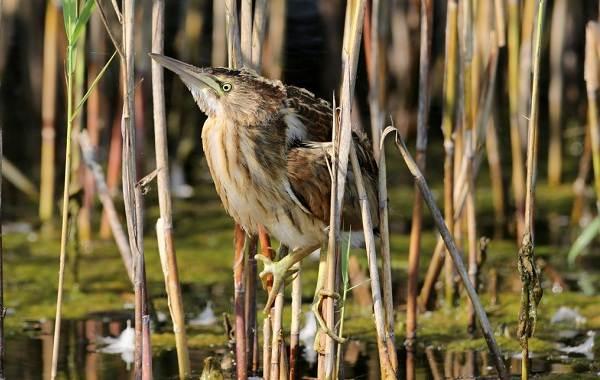 Выпь-птица-Описание-особенности-виды-образ-жизни-и-среда-обитания-выпи-12