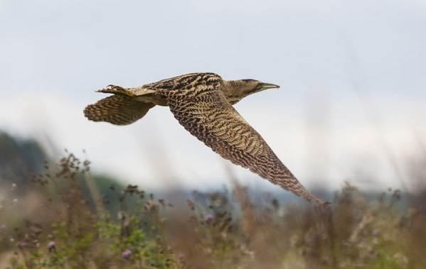 Выпь-птица-Описание-особенности-виды-образ-жизни-и-среда-обитания-выпи-14