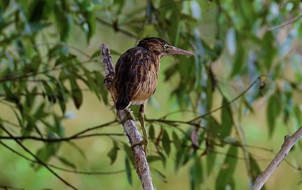 Выпь-птица-Описание-особенности-виды-образ-жизни-и-среда-обитания-выпи-15