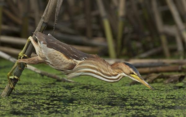 Выпь-птица-Описание-особенности-виды-образ-жизни-и-среда-обитания-выпи-17