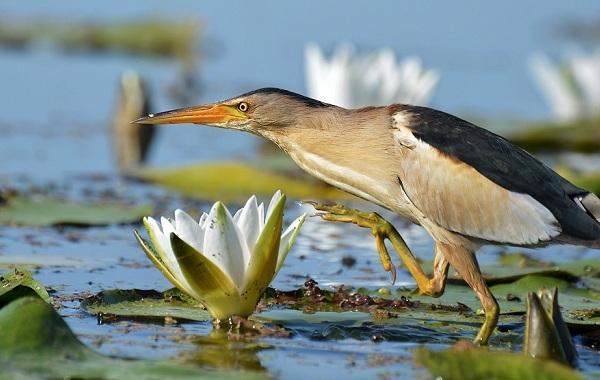 Выпь-птица-Описание-особенности-виды-образ-жизни-и-среда-обитания-выпи-19