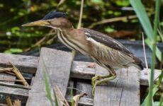Выпь птица. Описание, особенности, виды, образ жизни и среда обитания выпи