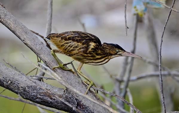 Выпь-птица-Описание-особенности-виды-образ-жизни-и-среда-обитания-выпи-6