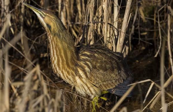 Выпь-птица-Описание-особенности-виды-образ-жизни-и-среда-обитания-выпи-8