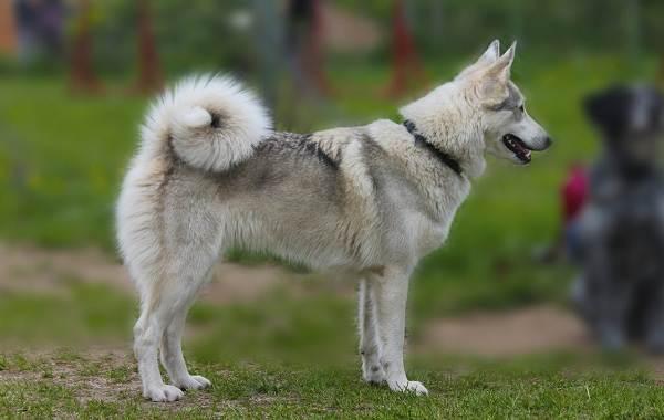 Западно-сибирская-лайка-собака-Описание-особенности-уход-и-цена-породы-1