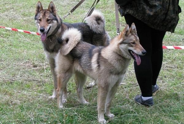 Западно-сибирская-лайка-собака-Описание-особенности-уход-и-цена-породы-11