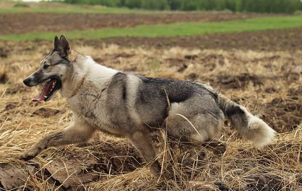 Западно-сибирская-лайка-собака-Описание-особенности-уход-и-цена-породы-12