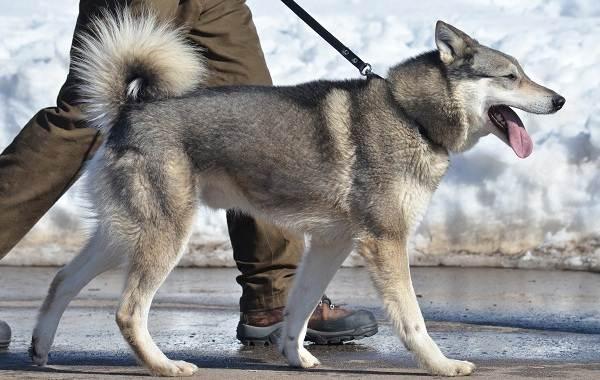 Западно-сибирская-лайка-собака-Описание-особенности-уход-и-цена-породы-13