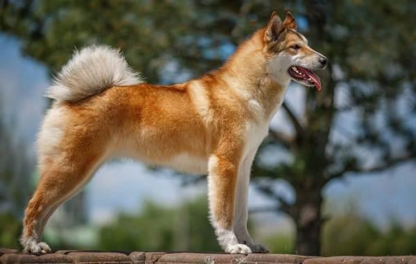 Западно-сибирская-лайка-собака-Описание-особенности-уход-и-цена-породы-14