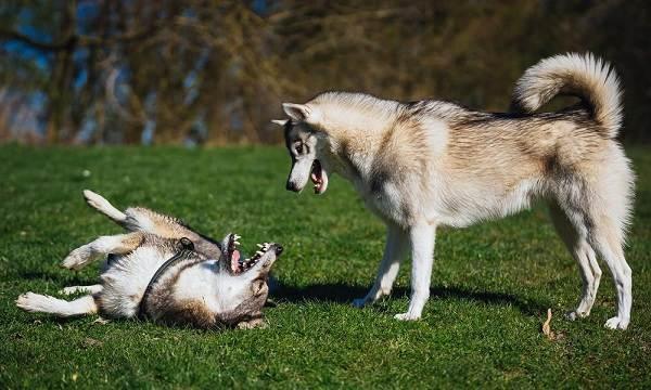 Западно-сибирская-лайка-собака-Описание-особенности-уход-и-цена-породы-15