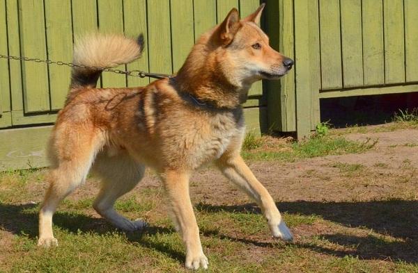 Западно-сибирская-лайка-собака-Описание-особенности-уход-и-цена-породы-16