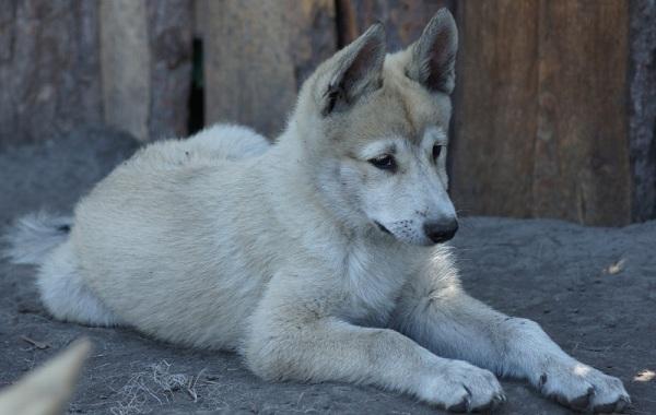 Западно-сибирская-лайка-собака-Описание-особенности-уход-и-цена-породы-17