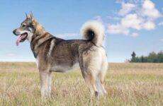 Западно-сибирская лайка собака. Описание, особенности, уход и цена породы