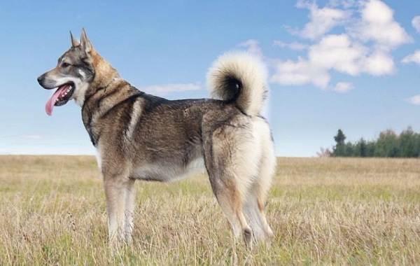 Западно-сибирская-лайка-собака-Описание-особенности-уход-и-цена-породы-2